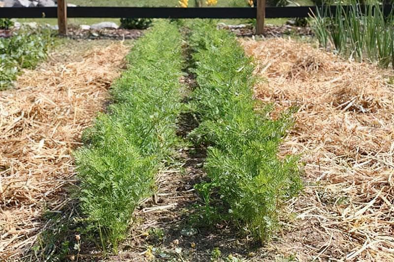 Морква розтріскується в землі: чому це відбувається і що робити, як правильно доглядати 1