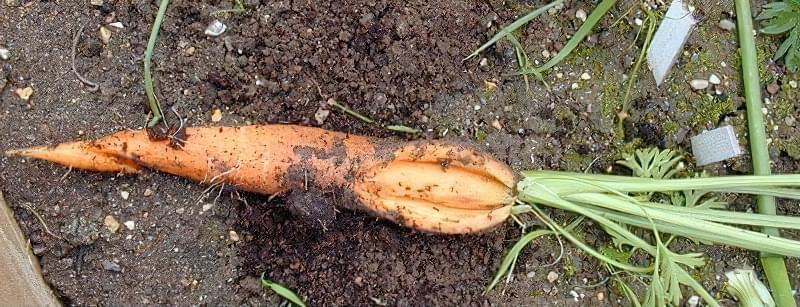 Морква розтріскується в землі: чому це відбувається і що робити, як правильно доглядати 2