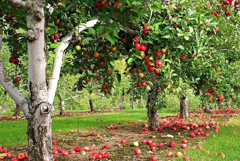 Плодовий сад в ландшафтному дизайні 2