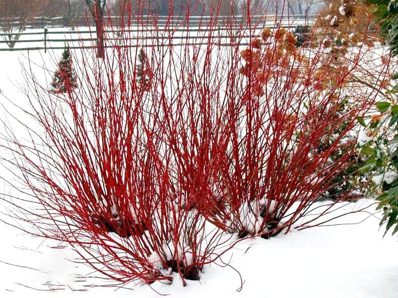 Які рослини та квіти гарно виглядають надворі взимку і не мерзнуть 3