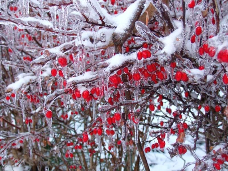 Які рослини та квіти гарно виглядають надворі взимку і не мерзнуть 4