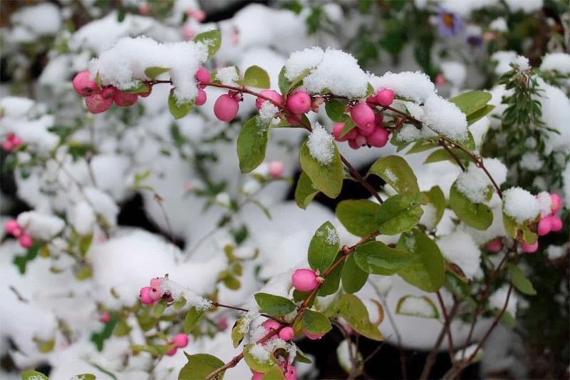 Які рослини та квіти гарно виглядають надворі взимку і не мерзнуть 5