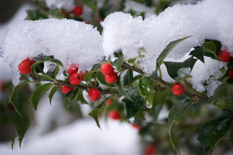 Які рослини та квіти гарно виглядають надворі взимку і не мерзнуть 6