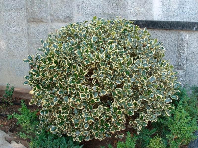 Які рослини та квіти гарно виглядають надворі взимку і не мерзнуть 7
