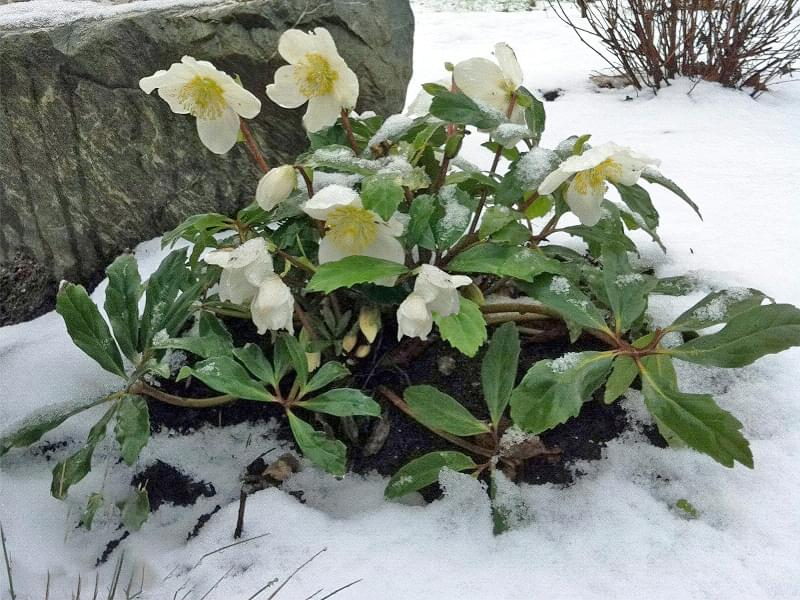Які рослини та квіти гарно виглядають надворі взимку і не мерзнуть 8