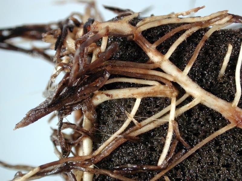 Що таке перевалка рослин? Різниця між пересадкою і перевалкою. 2