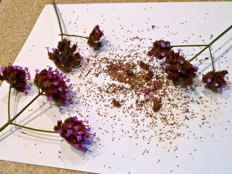 Вербена: посадка на розсаду, вирощування в домашніх умовах 3
