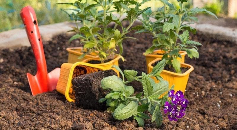 Вербена: посадка на розсаду, вирощування в домашніх умовах 4