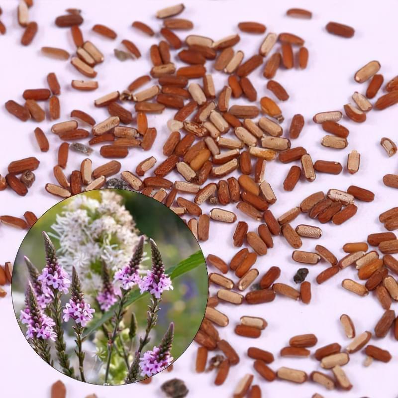 Вербена: посадка на розсаду, вирощування в домашніх умовах 2