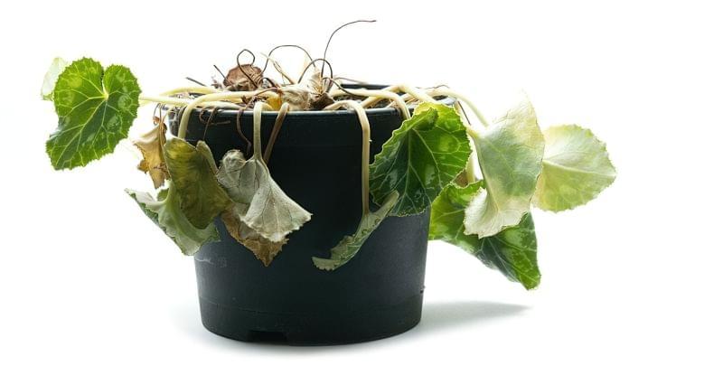 реанімація рослин бурштиновою кислотою