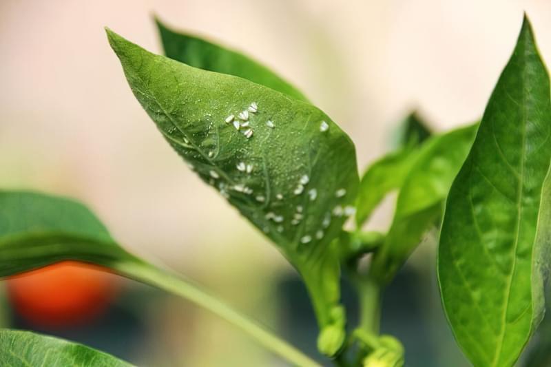 Чому у перців стають липкі листочки 3