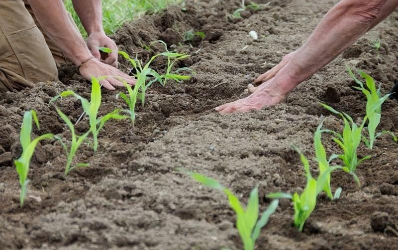 Чи варто садити кукурудзу і огірки на одній грядці? 5