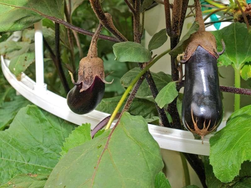 Чим підгодувати баклажани для хорошого врожаю 5