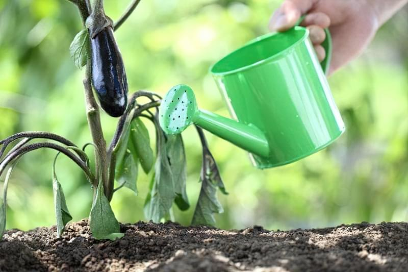 Чим підгодувати баклажани для хорошого врожаю 1