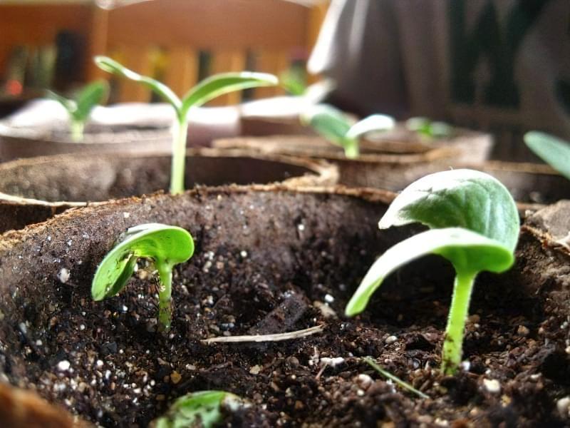 Переваги дезінфекції насіння огірка перекисом водню 4