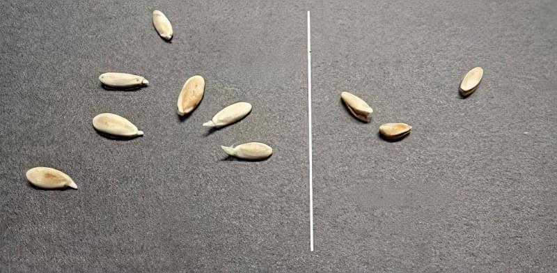Підготовка насіння огірків до посіву: як прогрівати, в чому протравити, чи потрібно пророщувати 2