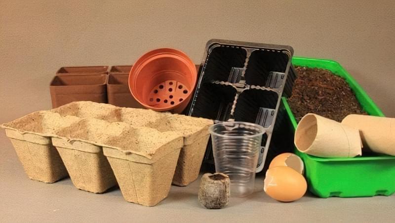 Пророщування насіння огірків в тирсі: особливості та переваги пророщування 3