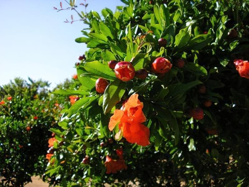 Як цвіте гранат і як виглядають квіти граната 3