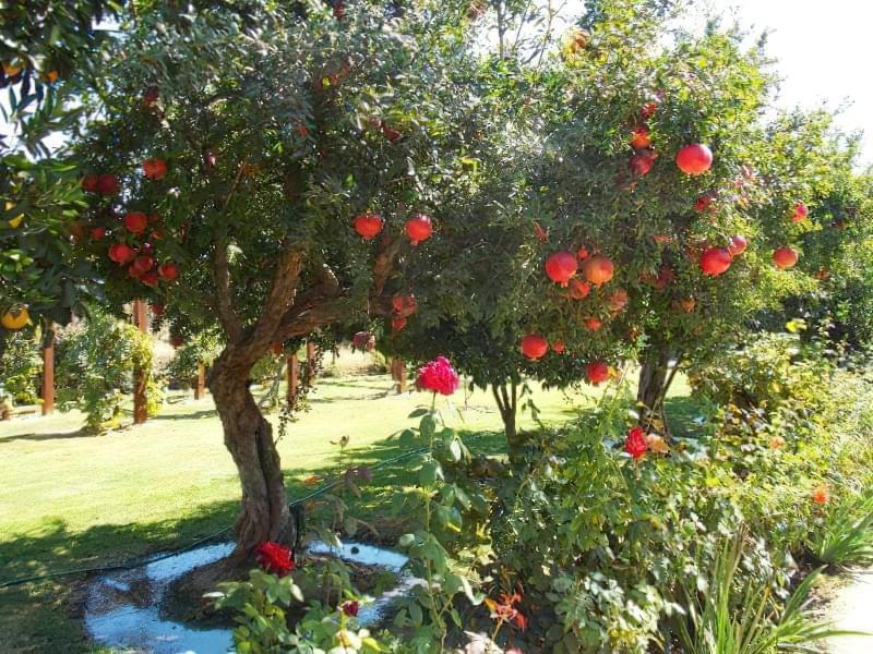 Як цвіте гранат і як виглядають квіти граната 1