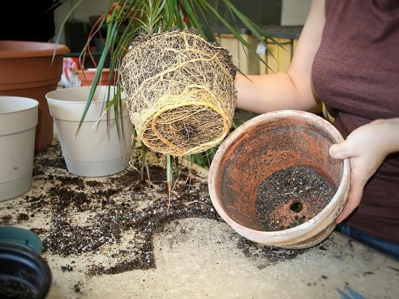 Як врятувати залиту рослину? Швидка допомога, якщо залили вазон 2