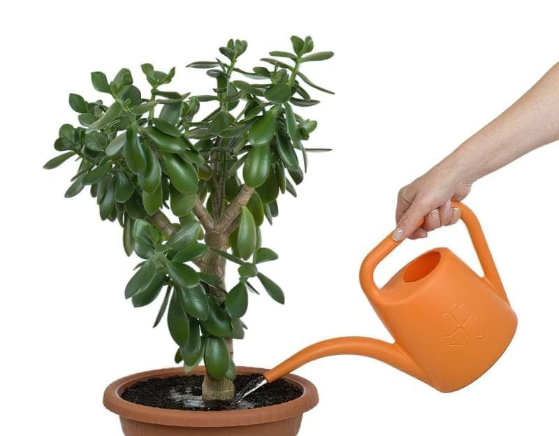 Як змусити грошове дерево зацвісти: корисні поради 3