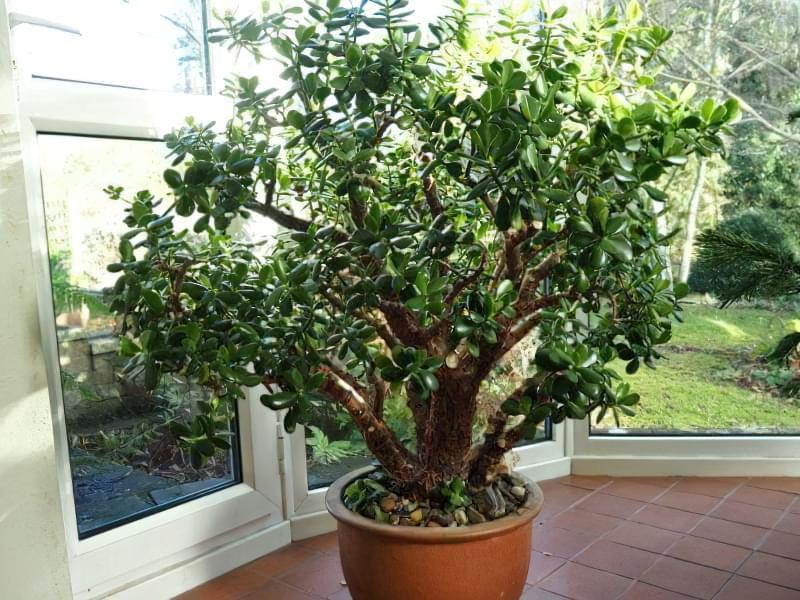 Як змусити грошове дерево зацвісти: корисні поради 1