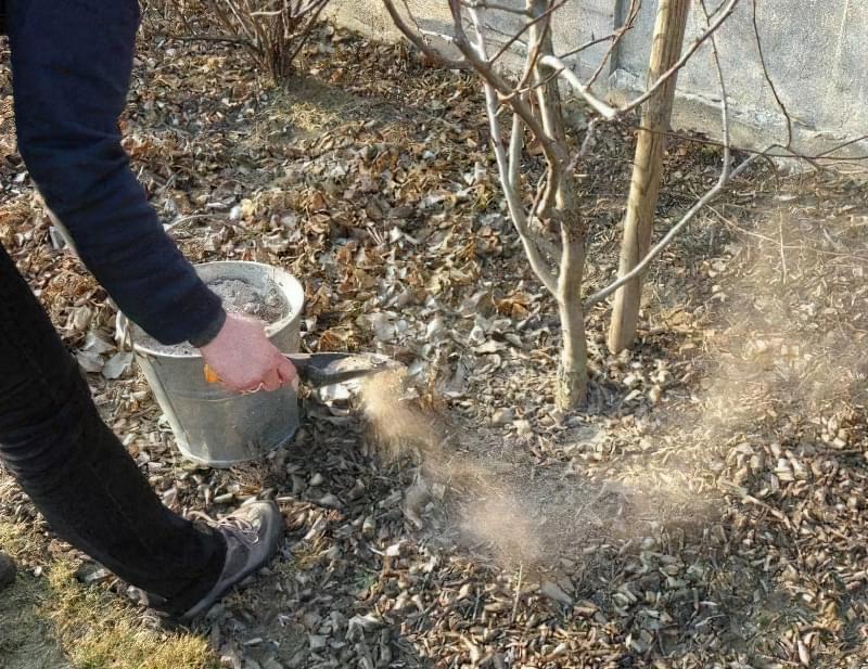 Якими добривами підгодовувати грушу восени для гарного врожаю 4