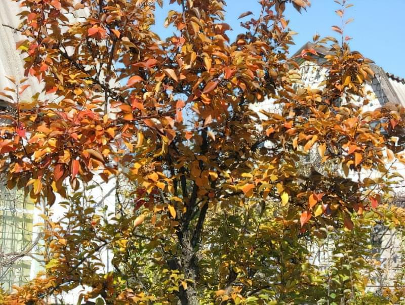 Якими добривами підгодовувати грушу восени для гарного врожаю 1