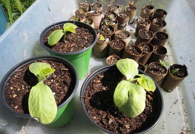 Чому сохне і жовтіє листя у розсади огірків: як лікувати 1