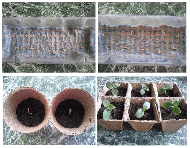 Чи потрібно замочувати насіння огірків перед посадкою і як це робити 1