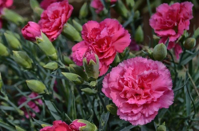 Гвоздика Шабо: вирощування, посадка, догляд 3