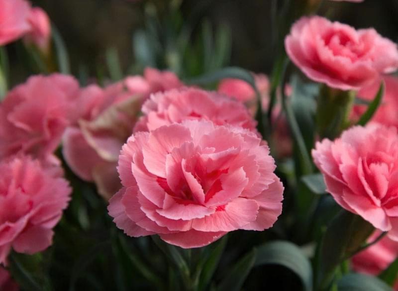 Гвоздика Шабо: вирощування, посадка, догляд 4