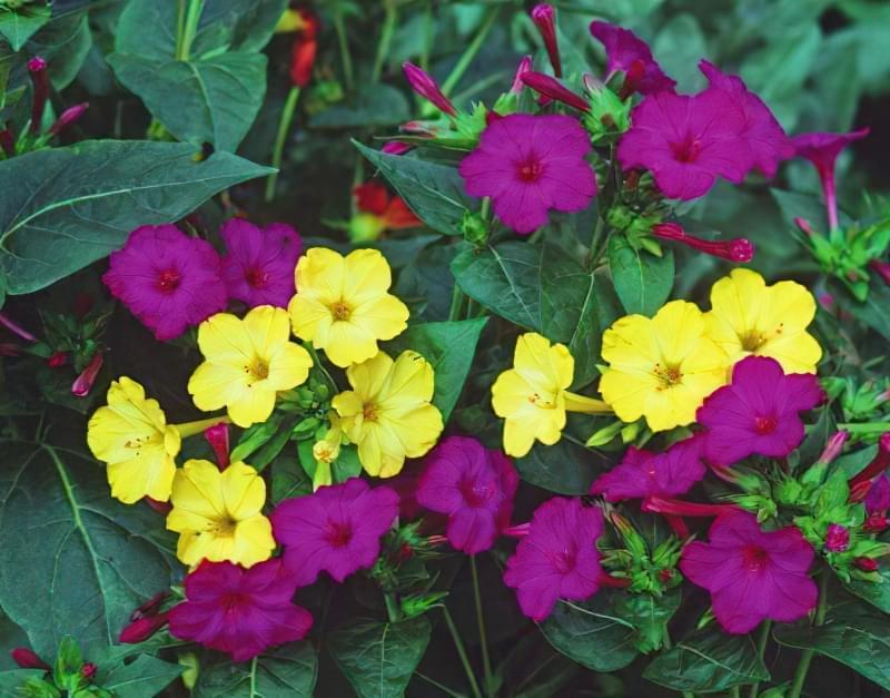 Мірабіліс ялапа: правила і особливості вирощування 1