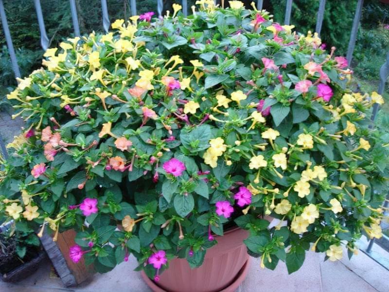 Мірабіліс ялапа: правила і особливості вирощування 2