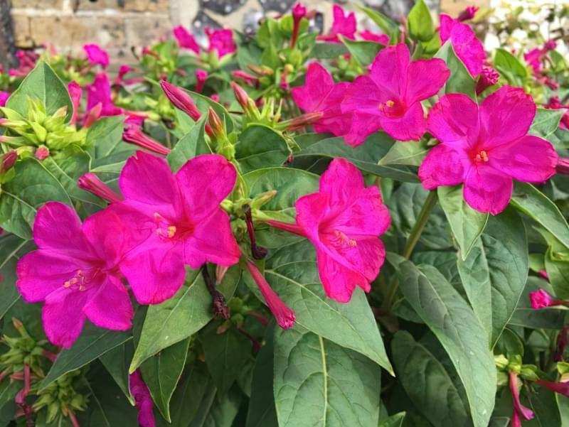 Мірабіліс ялапа: правила і особливості вирощування 3