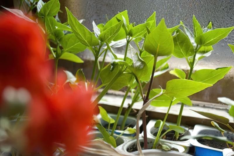 Мірабіліс ялапа: правила і особливості вирощування 5