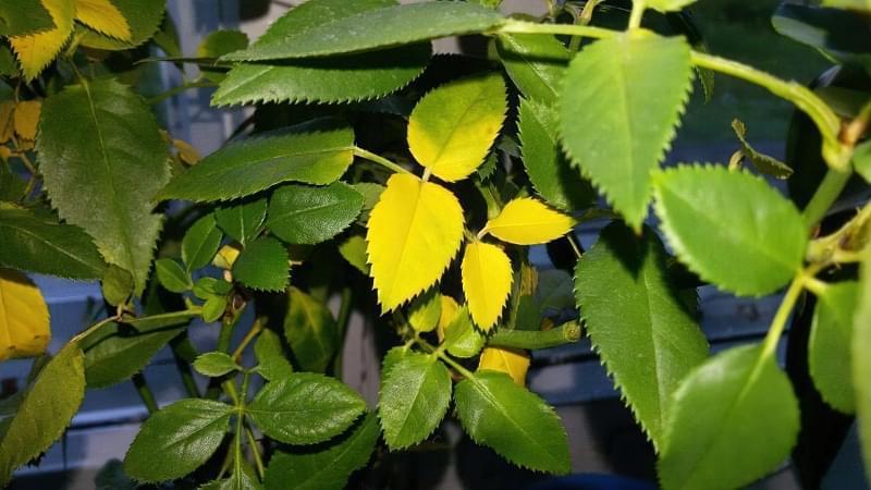 Симптоми надлишку добрив для кімнатних рослин 2