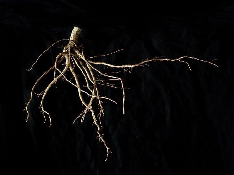 як виглядає коренева система