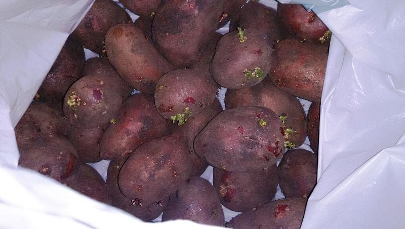 Підготовка картоплі до посадки навесні: коли починати, чим обробити 2