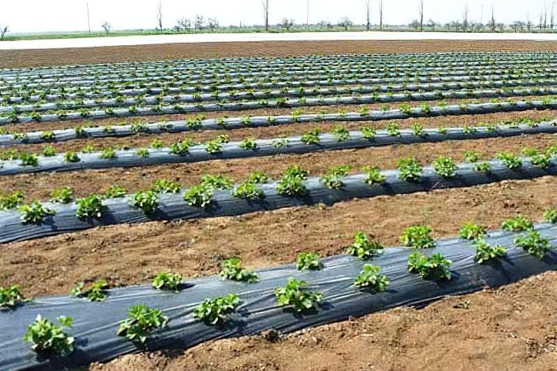Підготовка картоплі до посадки навесні: коли починати, чим обробити 11