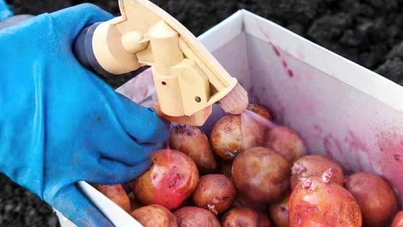 Підготовка картоплі до посадки навесні: коли починати, чим обробити 12