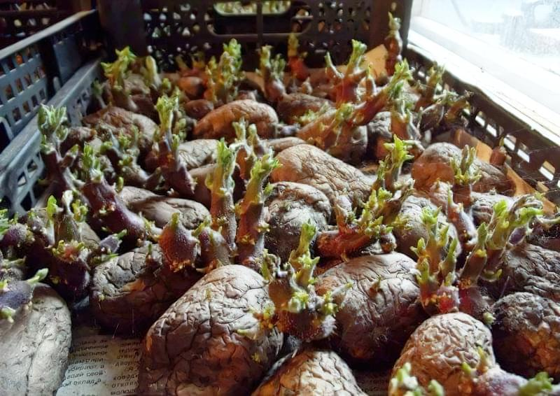 Підготовка картоплі до посадки навесні: коли починати, чим обробити 4