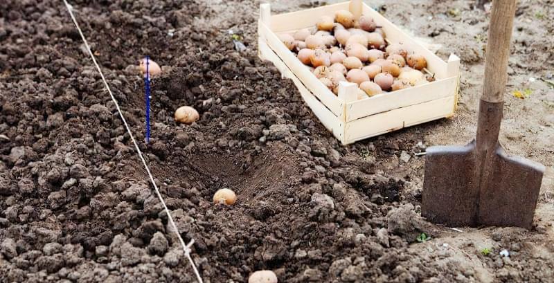 Підготовка картоплі до посадки навесні: коли починати, чим обробити 6