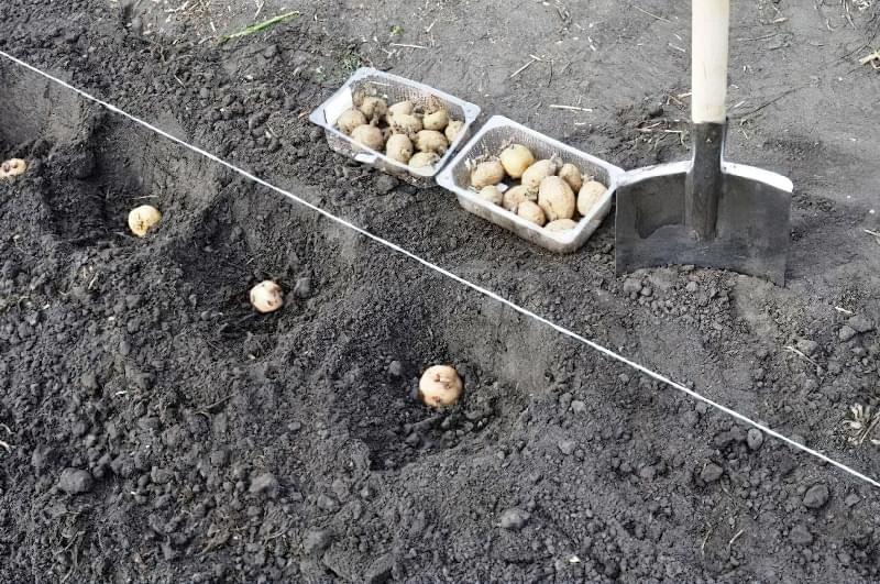 Підготовка картоплі до посадки навесні: коли починати, чим обробити 7