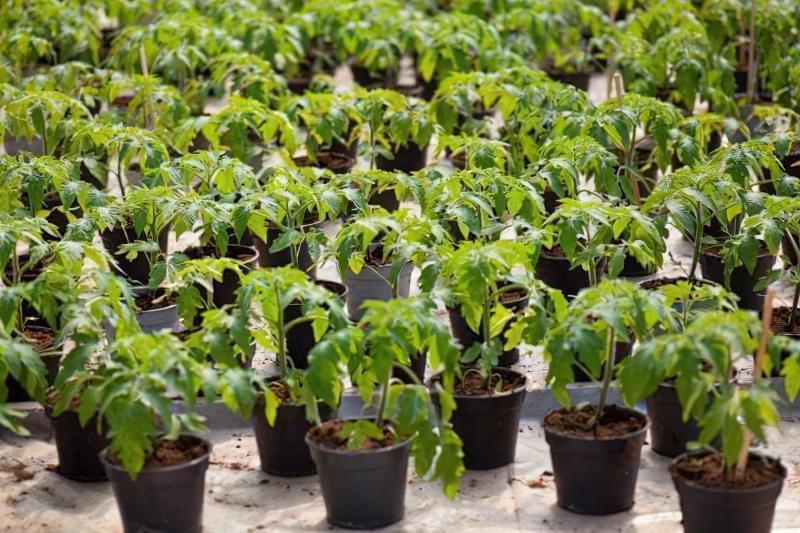 Підживлення розсади томатів в домашніх умовах 3