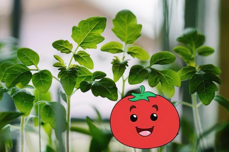 Підживлення розсади томатів в домашніх умовах 1