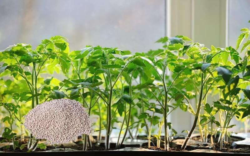 Підживлення розсади томатів в домашніх умовах 2