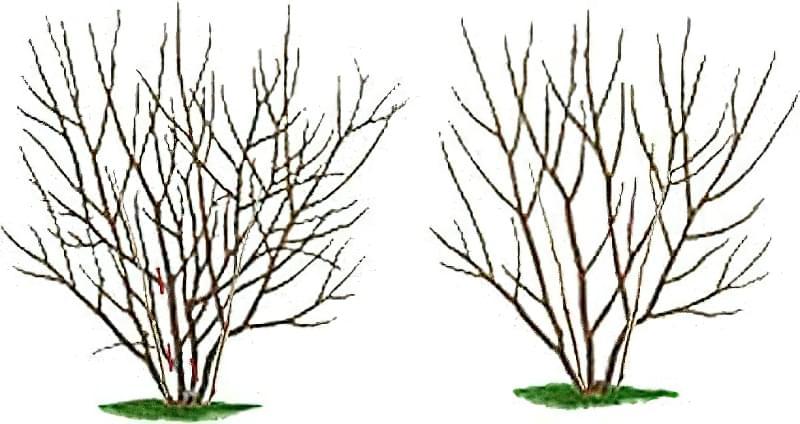 Правила і особливості обрізки чорноплідної горобини навесні 2
