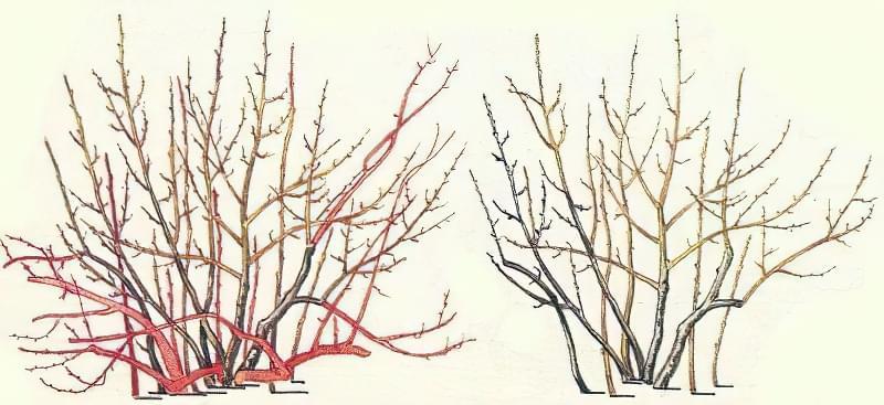 Правила і особливості обрізки чорноплідної горобини навесні 3