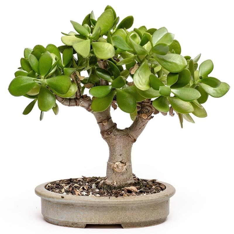 Самі посухостійкі рослини для кімнатного вирощування 3
